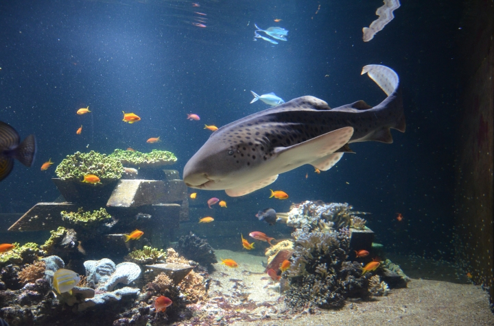 requin-zebre-d-mallevoy-6