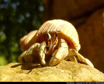 Bernard-l-hermite-terrestre-Rorolinus